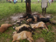 9 Sheep killed by Lightning strike in Moinabad